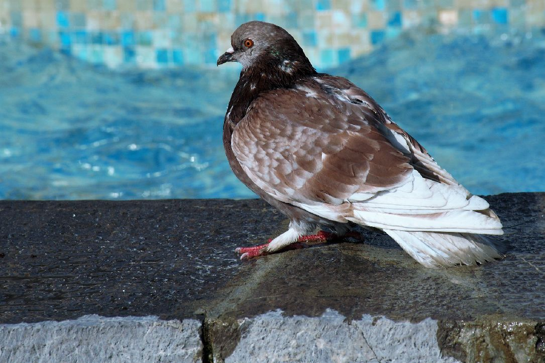 golubovi fontana opatija