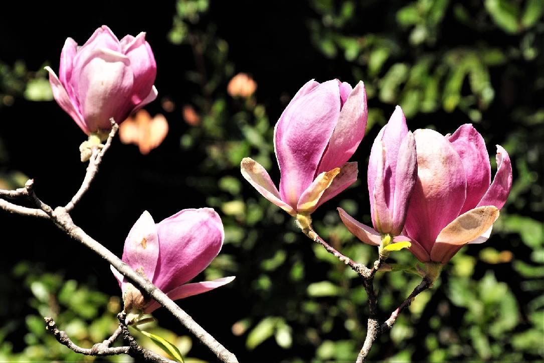 magnolija cvijeće