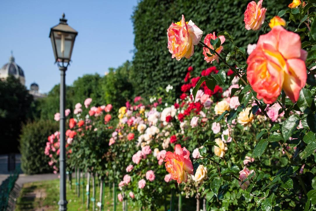ruže beč