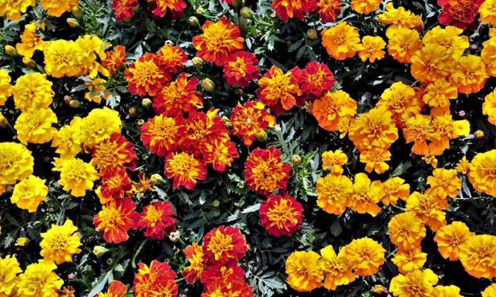 sajam cvijeća