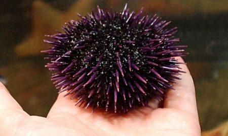 thumb_sea-urchin
