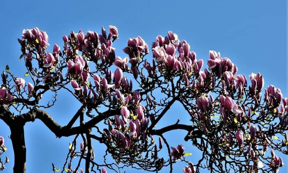 magnolija Smiljan Pripić
