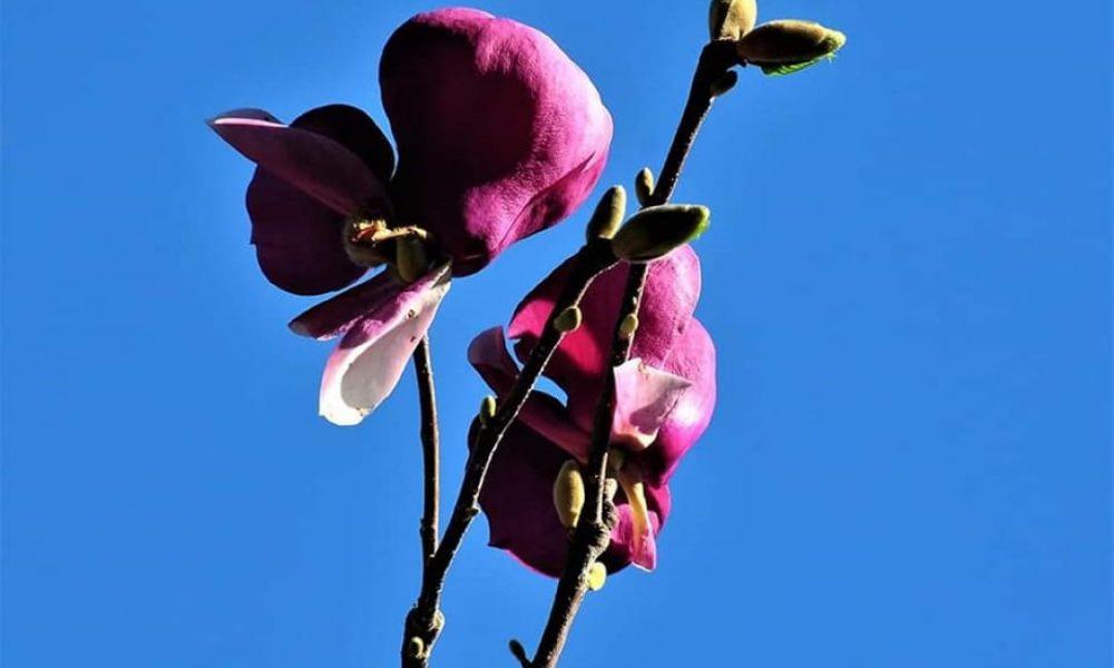 magnolija miljan Pripić
