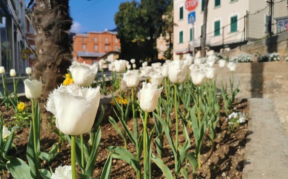 tulipani cvijeće Smiljan Pripić