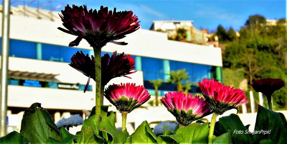 dvorana marino cvetković